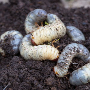 fall pest control grubs