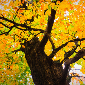 sugar maple showing off its fall colors