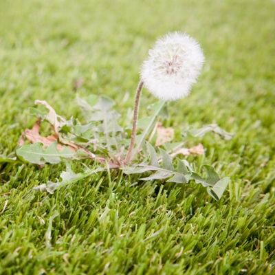 Dandelion and weed control should be a priority in your summer lawn care routine for your Essex, CT lawn.